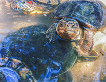Pond slider turtles in fresh water. Domestic animal tortoise portrait. Stock Photography