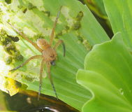 Pond spider on green water plant Royalty Free Stock Photography