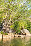Pond with strangler fig,  Australia Stock Images