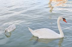 Pond with Swan and ugly duckling. That wallowing in water Stock Photo