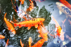 Pond with swimming koi fishes Royalty Free Stock Photos