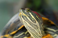 Pond terrapin. Closeup, raised head Royalty Free Stock Photo