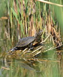 Pond terrapin Stock Photography