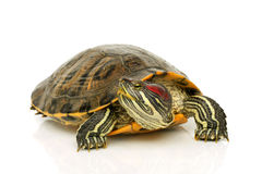 Pond terrapin. On a white background Stock Photo