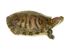 Pond terrapin. On a white background Royalty Free Stock Images