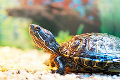 Pond Terrapin Royalty Free Stock Images