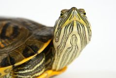 Pond terrapin. Pond terrapin close-up, raised head (face stock photo