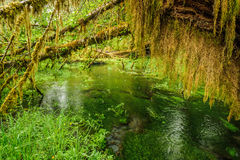 Pond and trees covered with moss in the rain forest royalty free stock image