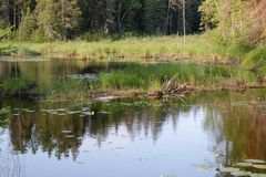 Pond Trees Grass and Lily Pads in Ontario Canada royalty free stock images
