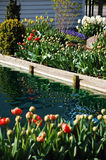 Pond and tulips. Pond with colorful tulips planted on outer edges Stock Images