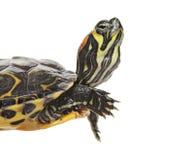 Pond turtle Royalty Free Stock Photo