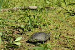 Pond Turtle Basks In Sun Royalty Free Stock Image