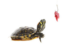 Pond turtle and a fishing hook with meat Royalty Free Stock Photo