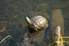 Pond turtle gets sun bath Royalty Free Stock Photography