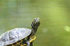Pond Turtle Heating In The Sun On Rock In Water royalty free stock image