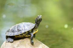 Pond Turtle Heating In The Sun On Rock In Water royalty free stock photo