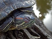 Free Pond Turtle Resting On A Log Near The Water Tranquility Scene Royalty Free Stock Photography - 118079297