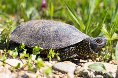 Pond turtle Royalty Free Stock Photo