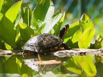 Pond turtle. On the stone wall Stock Photography