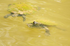 Pond Turtles. Turtles Ducking And Swimming In A Vivid Green Lagoon Stock Photography