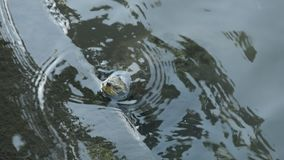 Pond turtles floating to water surface on poll edge stock video footage