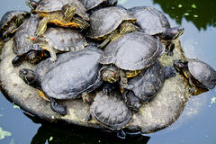Pond turtles Stock Image