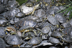 Pond turtles stacked Stock Photo