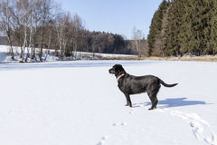 Pond under snow in winter and black dog Stock Images