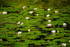 Pond in the village with white water-lilies. The picture is made in the village in the Pskov area Stock Images