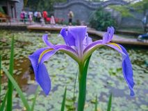 The pond was in full bloom with a beautiful iris. Holidays, parks Stock Image