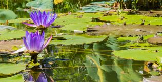 Waterlilys Frog Pond stock photography
