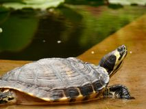 Palermo, Sicily, Italy.  Turtle at the botanical garden stock image