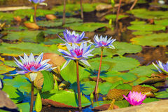 Pond with water lilies. Water lilies bloom in produ on a bright sunny day Stock Photos