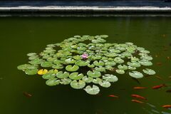 Pond with water lilies and carps 1