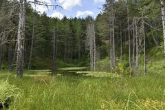 A Pond with Water Lilies in a Forest Clearing. stock image