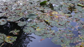 Pond with water lilies in the park stock video
