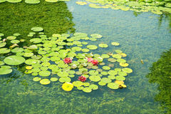 Pond with water lilies in the park Royalty Free Stock Image