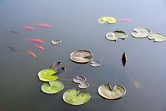 Pond with water lily and koi fish Stock Photography