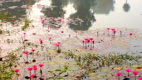 Pond water lily wallpaper cool royalty free stock photos