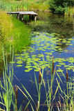 Pond and water plants Stock Images