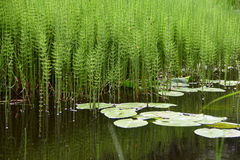 Pond with water plants Stock Photo