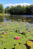 Pond with Waterlilies Royalty Free Stock Images