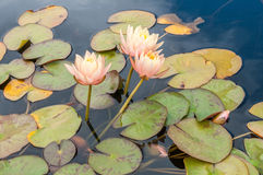 Pond with waterlilies Stock Image