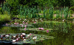 Pond with watter lilies Royalty Free Stock Image