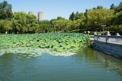 Pond which overgrown by lotos flowers. Public park in urban feature Stock Photos