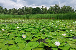 Pond with white lilies Royalty Free Stock Photography