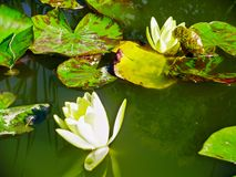 Pond with white water lilies. And green leaves Stock Image