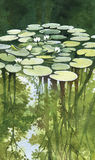 Pond with white water lilies, watercolor landscape. Pond with lilies, watercolor painting Stock Photo