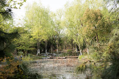 Pond and willow Stock Photography
