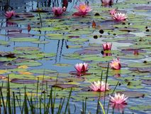 Free Pond With Water Lilies Stock Photos - 57718113